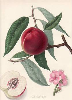 Neal's Early Purple Peach. (print). William Hooker.
