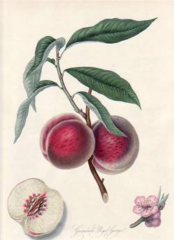 Grimwood's Royal George, or the Gross Mignonne Peach. (print). William Hooker.