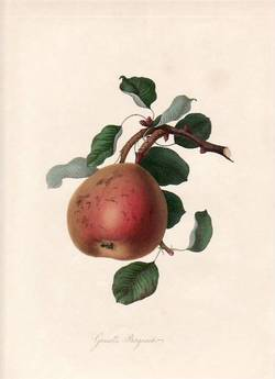 Gansell's Bergamot Pear. (print). William Hooker.