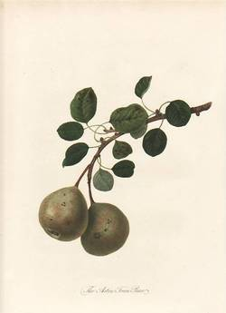 The Aston Town Pear (print). William Hooker.