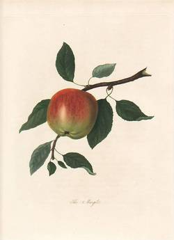 The Margit Apple. (print). William Hooker