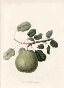 The Wormsley Bergamot Pear. (print). William Hooker