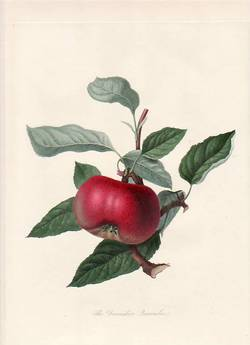 The Devonshire Quarenden Apple. (print). William Hooker