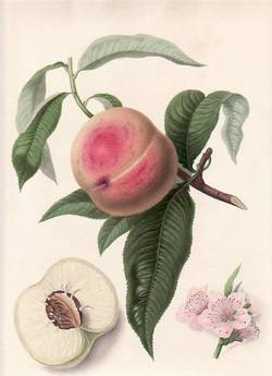 La Noblesse Peach. (print). William Hooker