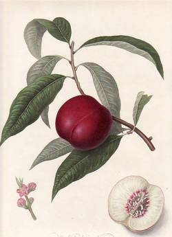 The Violet-native Nectarine (print). William Hooker