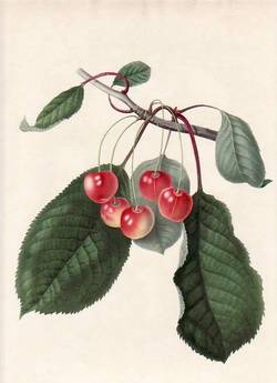 The Elton Cherry (print). William Hooker