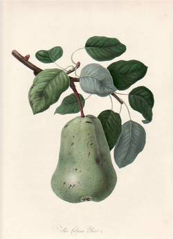 The Colmart Pear. (print). William Hooker