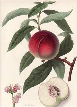 The Galande Peach. (print). William Hooker