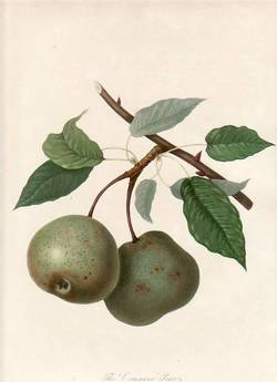 The Crasanne Pear. (print). William Hooker