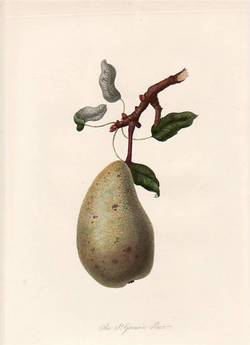 The St. Germain Pear (print). William Hooker