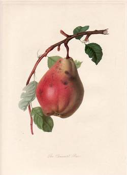 The Chaumontel Pear. (print). William Hooker.